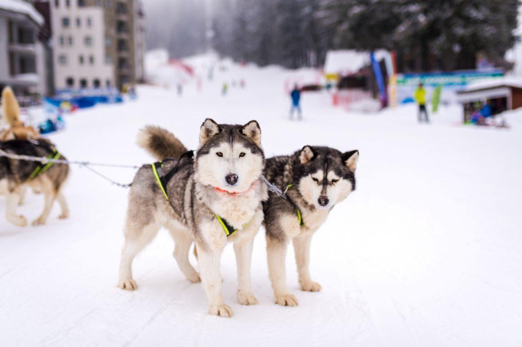 Husky dog sleigh in Pamporovo Bulgaria