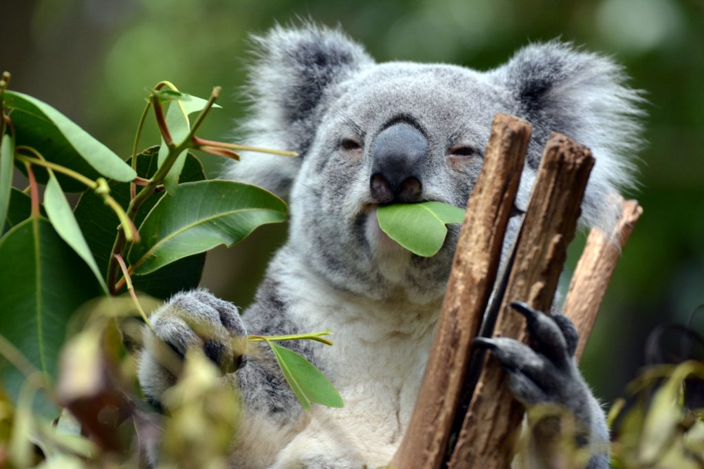 Places to Visit in Brisbane -  Lone Pine Koala Sanctuary