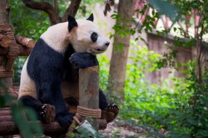 virtual tours at the zoo panda