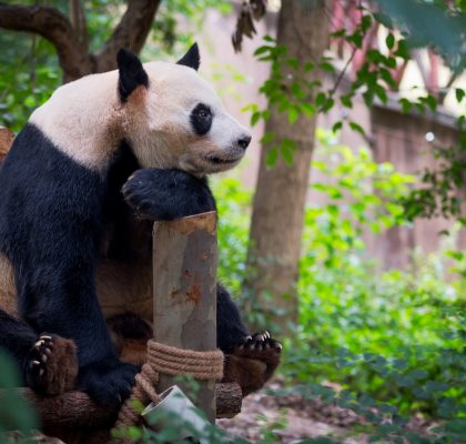 virtual tours at the zoo panda