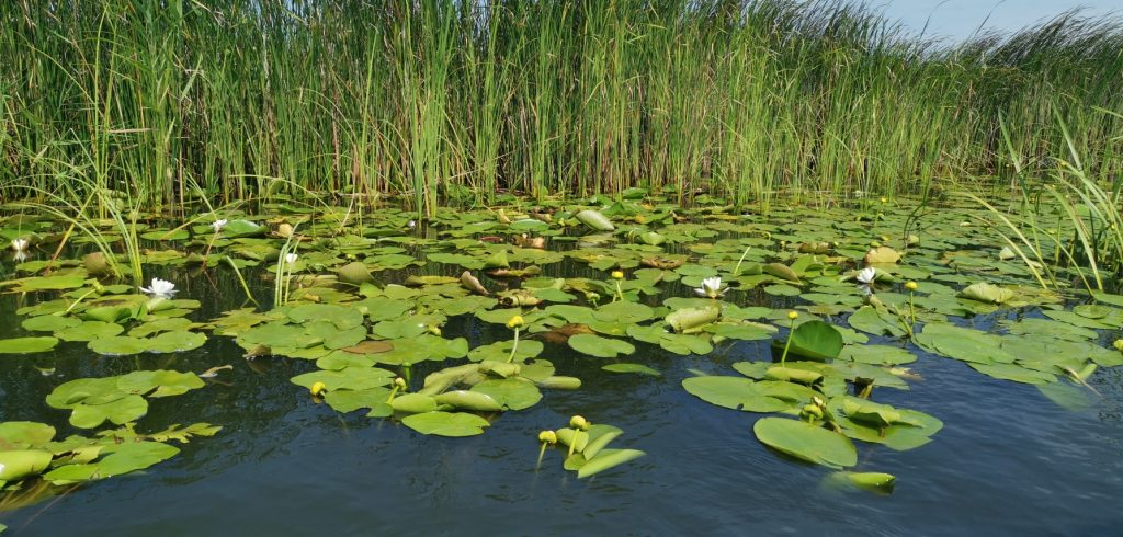 Visiting Danube Delta Romania - Water lilies