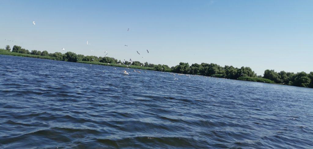 pelicans in the Danube Delta Romania